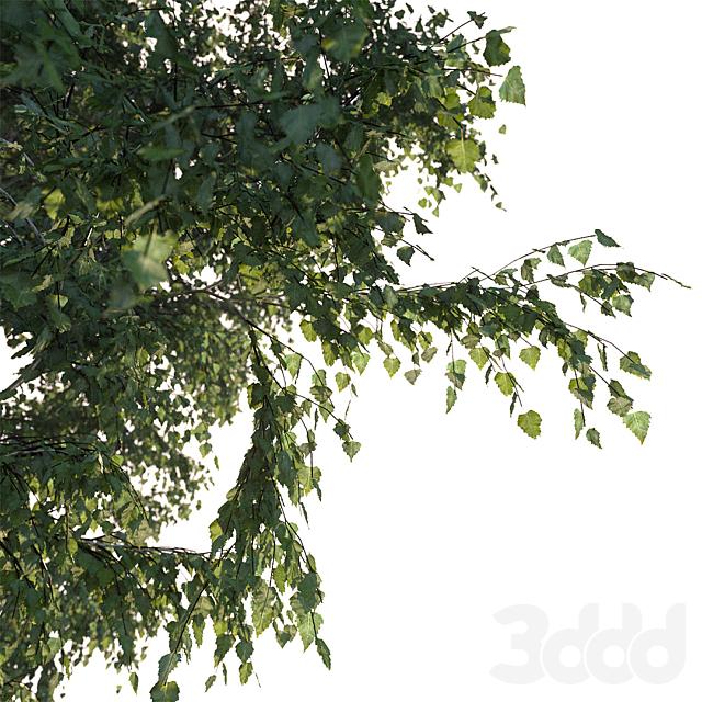 Летняя береза 18 метров