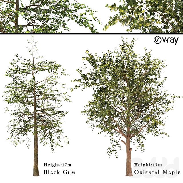 Platanus orientalis - Black Gum or Nyssa sylvatica