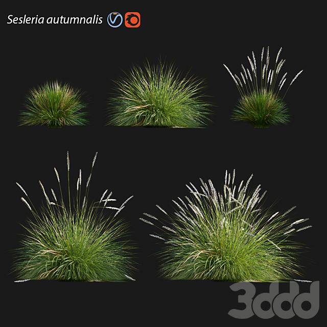 Sesleria autumnalis | Autumn moor grass