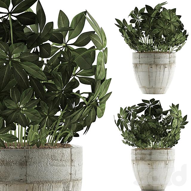 Plants Collection 61 Schefflera Arboricola