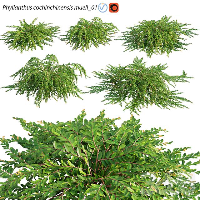 Phyllanthus cochinchinensis muell – 01