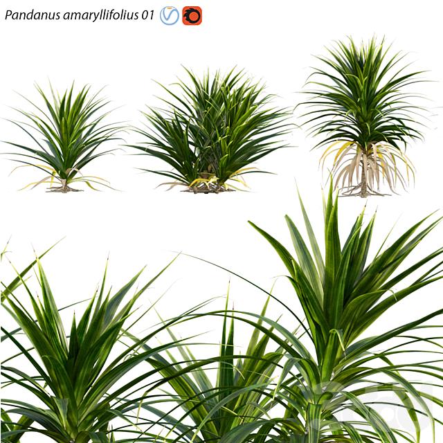 Pandanus amaryllifolius | Pandan leaves | Edible Pandan 01
