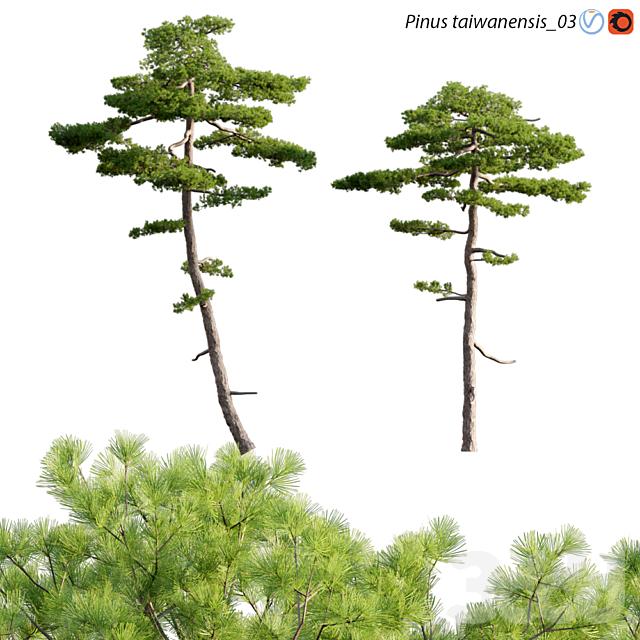 Pinus taiwanensis | Taiwan red pine | Pine | 03