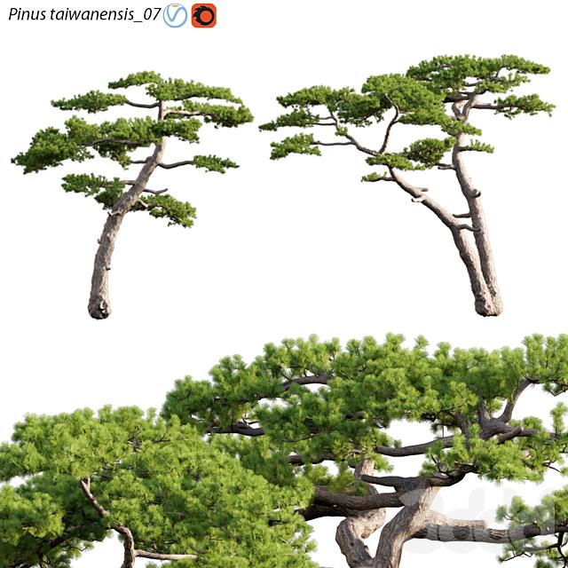 Pinus taiwanensis   Taiwan red pine   Pine   07