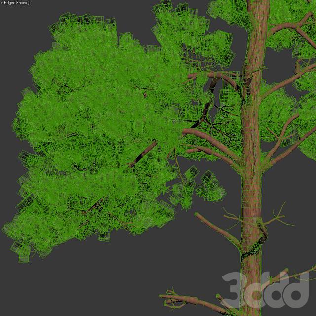 Pinus sylvestris #6 H17-22m Four tree set