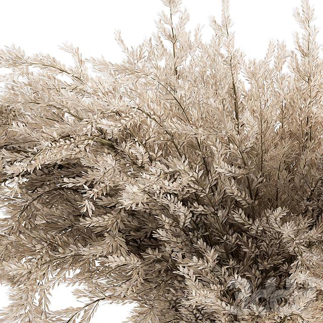 Dry plants 49 - Dried Plant Pampas